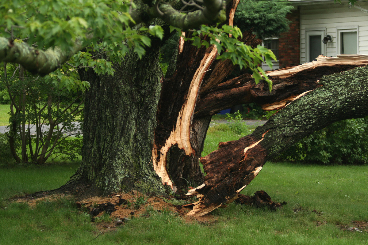 Tree Cabling And Bracing System In Toronto Elite Tree Care